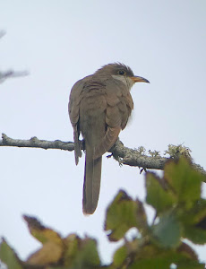 YELLOW BILLED CUCKOO-LOWER MOORS-ST MARYS-ISLES OF SCILLY-6TH OCTOBER 2019