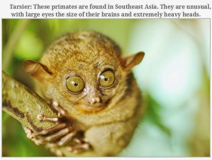 Weird animals (20 pics), strange animal pictures, tarsier