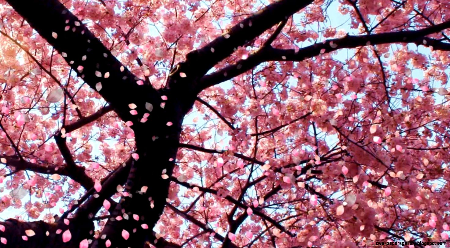 1000 images about Flor de Cerezo on Pinterest  Cherry blossoms