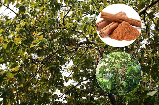 Scortisoară - Cinnamomum zeylanicum, C.  cassia (Lauraceae)