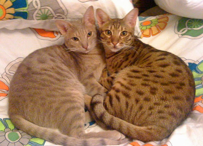 Ocicat Traits Ocicats can be spotted