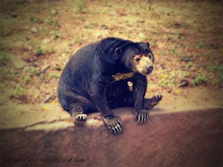 Sometimes called as dog bear, the sun bear looks so cute