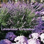 Lavender Dreams