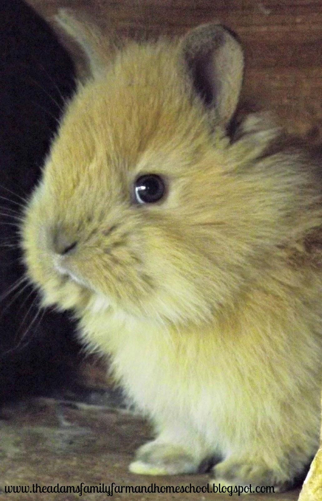 brown baby rabbit