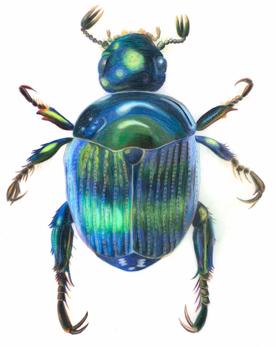 Inky phalangies thoughts blue cockchafer beetle