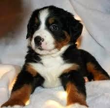 bernese dağ köpeği