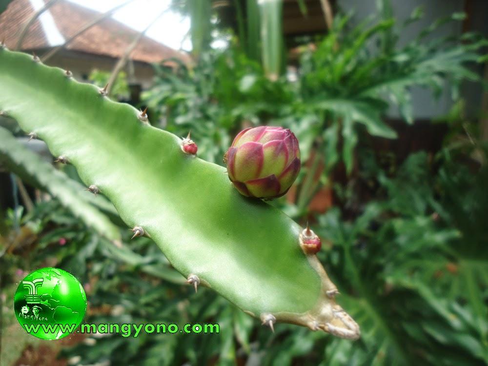 Ini bunganya masih kecil, mungkin harus menunggu beberapa waktu lagi agar bunga dari pohon Naga bisa mekar.