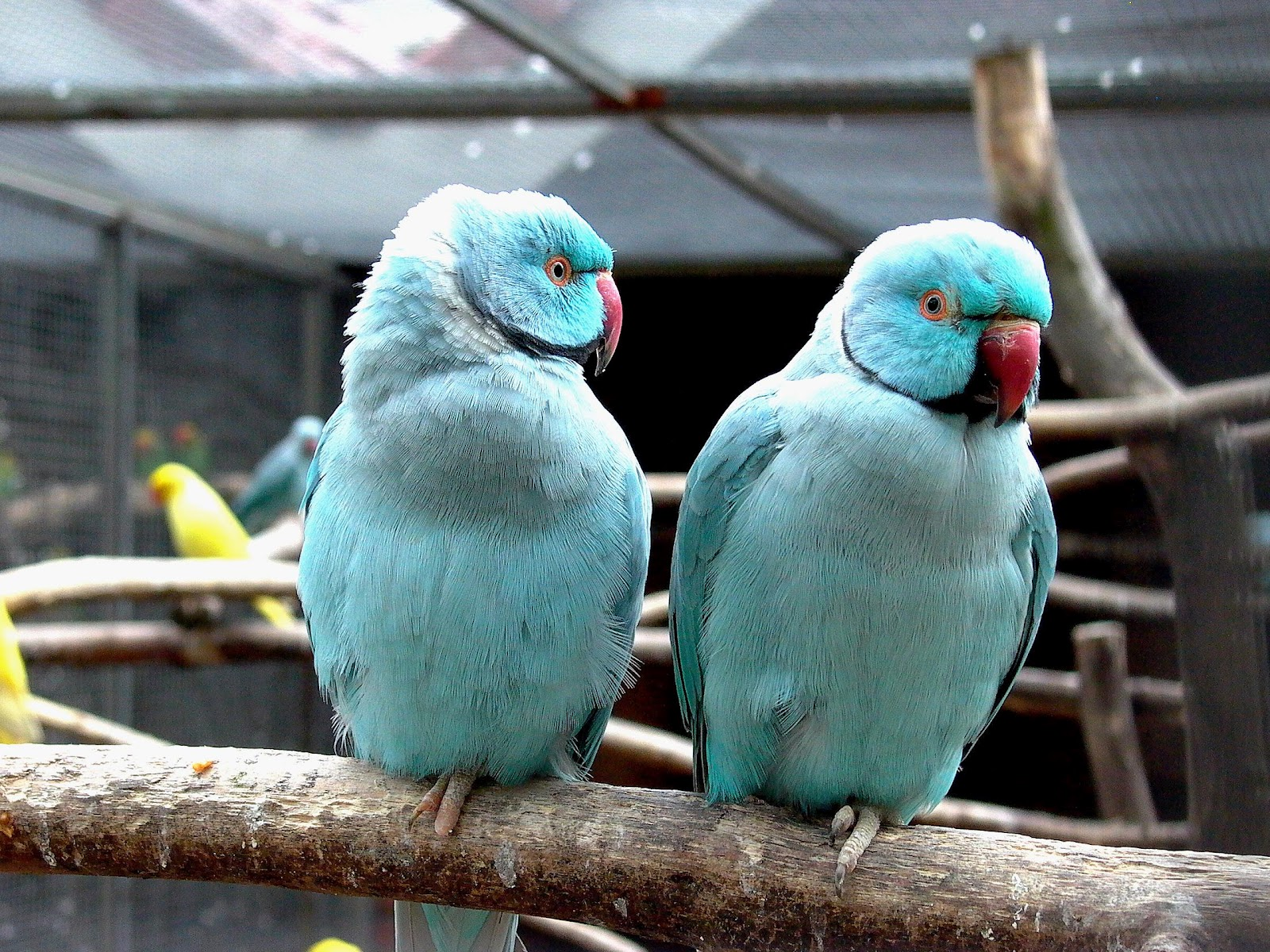 All Wallpapers: Blue Indian Parrots