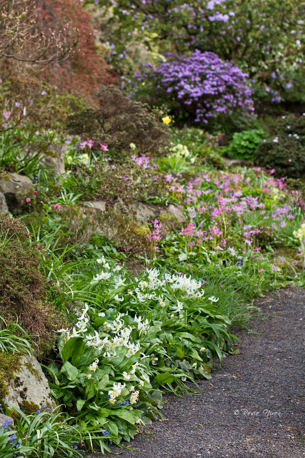 Either Erythronium 'White beauty'  or E. Californicum alongside the pink Erythronium revolutum