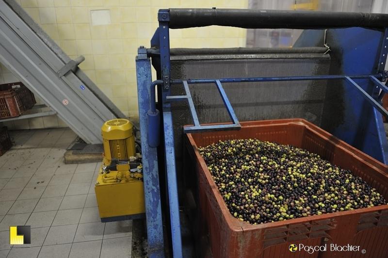 Le départ du processus de pressage des olives photo blachier pascal