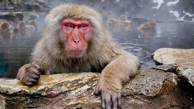 Baboon Hot Tube