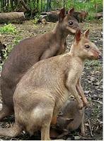 Kanguru Tanah