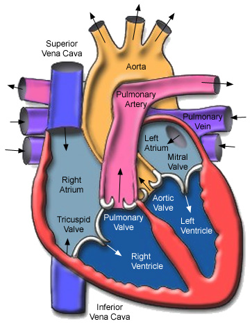 basic heart diagram] basic anatomy of the heart and circulatory, Muscles