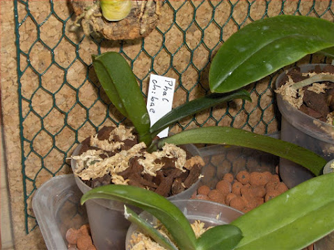 Young chibae Phalaenopsis orchid (kingidium), botanical species, photo and description of the plant and repotting.