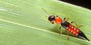 ukuran serangga Tomcat