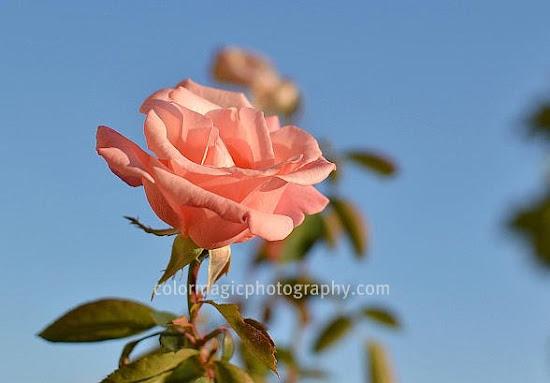 Pink rose and blue sky-closeup