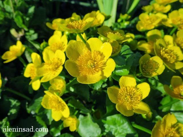 калужница болотная, Caltha palustris, цветы, желтые, весенние, аленин сад