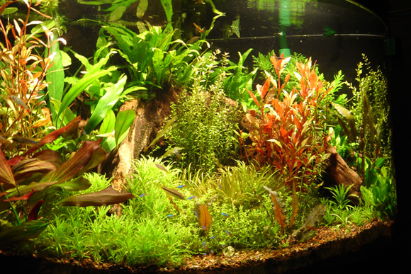Fish n tips aquatic plants for Freshwater fish tank plants