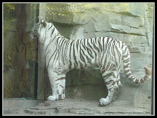 white tiger at Busch Gardens, Tampa, Florida