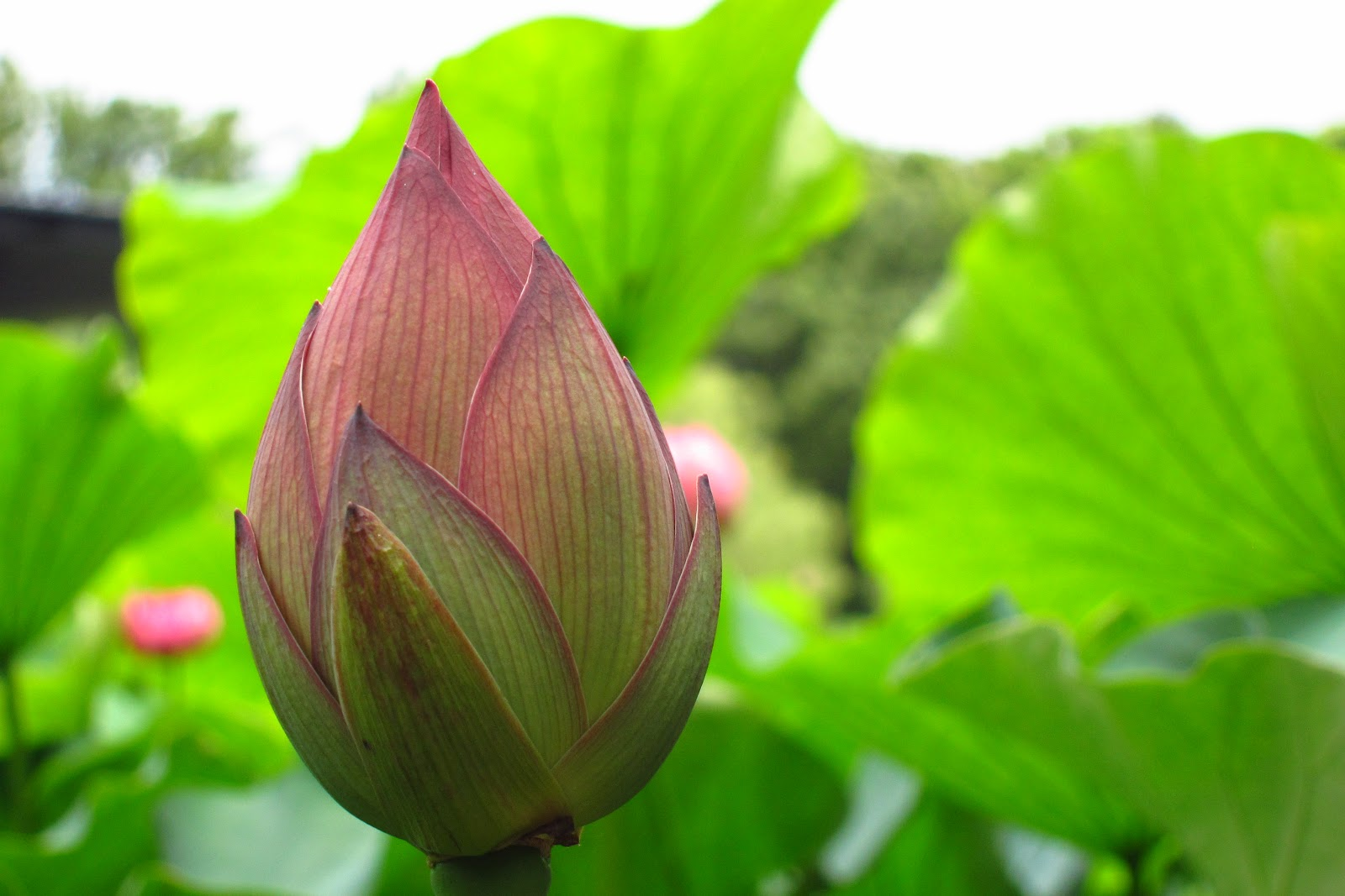 Round of the seasons in japan lotus collection today i learned a small but interesting information about lotus flower that is izmirmasajfo