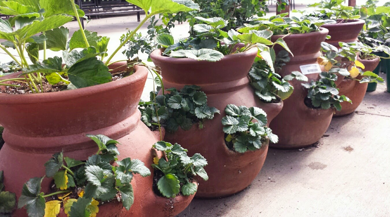 Star nursery blog berry good - Plant strawberries spring ...