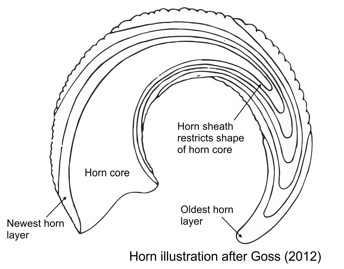 Mark witton blog 2017 schematic bovid horn growth adapted from an illustration in goss 2012 pooptronica Choice Image