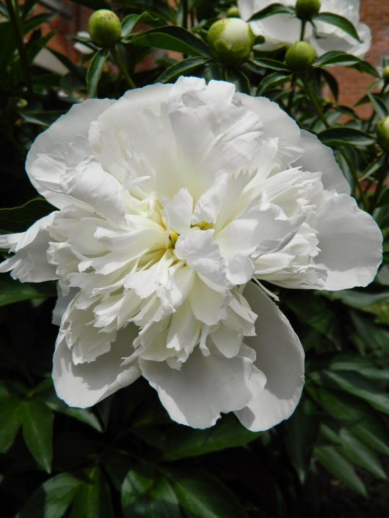 Paeonia lactiflora Duchesse de Nemours peony by by garden muses-not another Toronto gardening blog