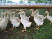 Pekin Ducks, May 2012