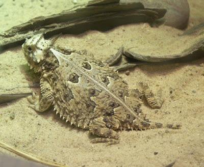วิธีป้องกันตัวแปลกๆ ร้องไห้ไล่ศัตรู ของ กิ้งก่าหนาม (Horned lizards) HornedLiz091404_1392C