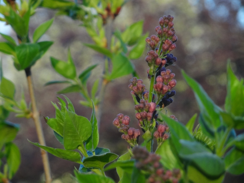 Lilac, flower, shrub, gardening