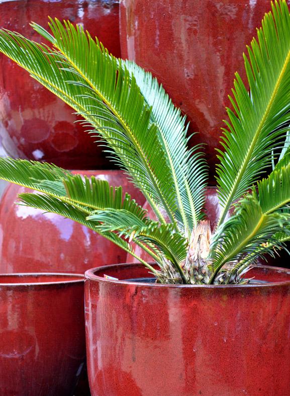 bliss garden giftware for pots sago palm