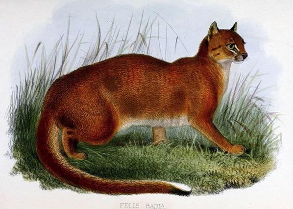 Spesies kucing liar paling jarang ditemui di dunia ditemui di Sarawak