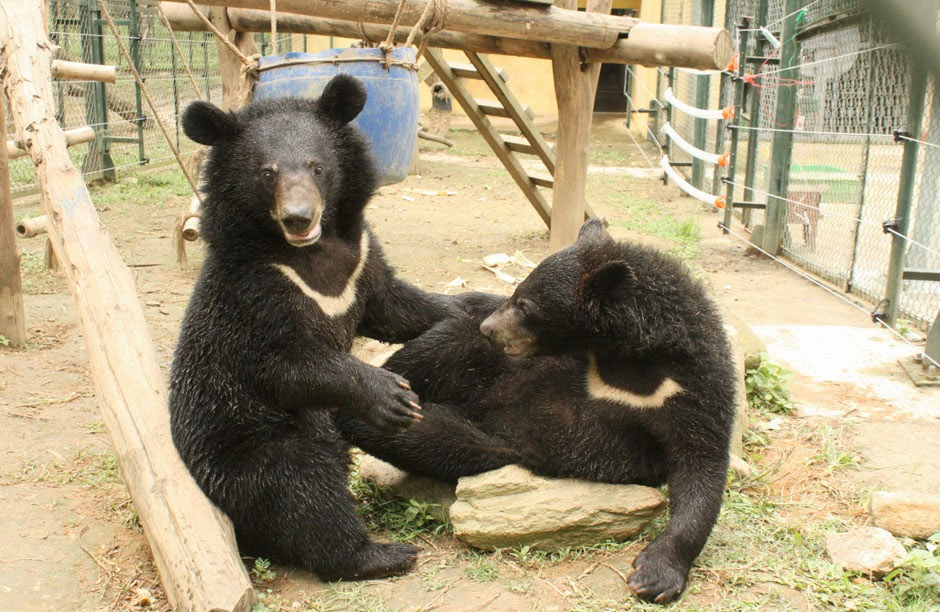 bear bile farming and eastern medicine Bear bile farming has no place in medicine or modern society help end bear bile farming and release thousands of bears from torturous captivity.