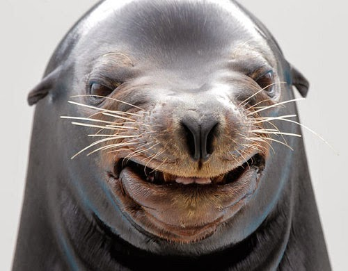 http://www.dailymail.co.uk/news/article-3027128/Officials-Sea-lion-pulls-man-fish-San-Diego-bay.html