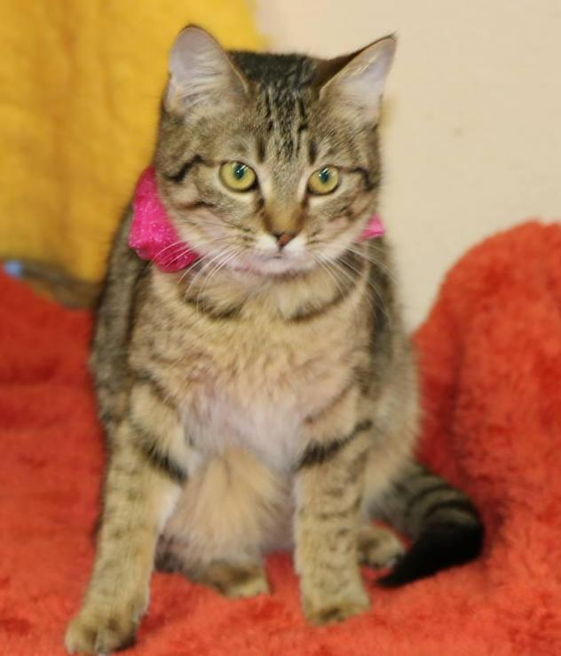 ADOPTABLE CAT OF THE WEEK!!! Click photo for all info AND a video! please OPT TO ADOPT!