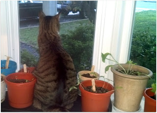 Tito the cat plays plant-sitter to our seedlings