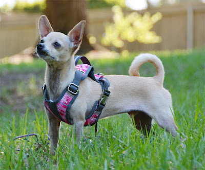 Petco pink seatbelt harness