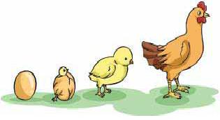 Cara Mempercepat Pertumbuhan Ayam