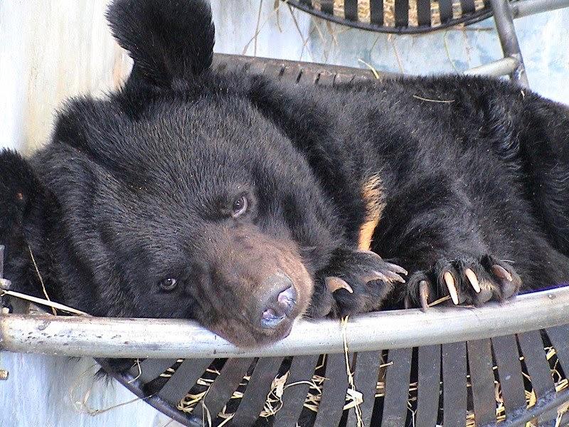 Aiutiamo l'orso della luna: stop alle fattorie della bile