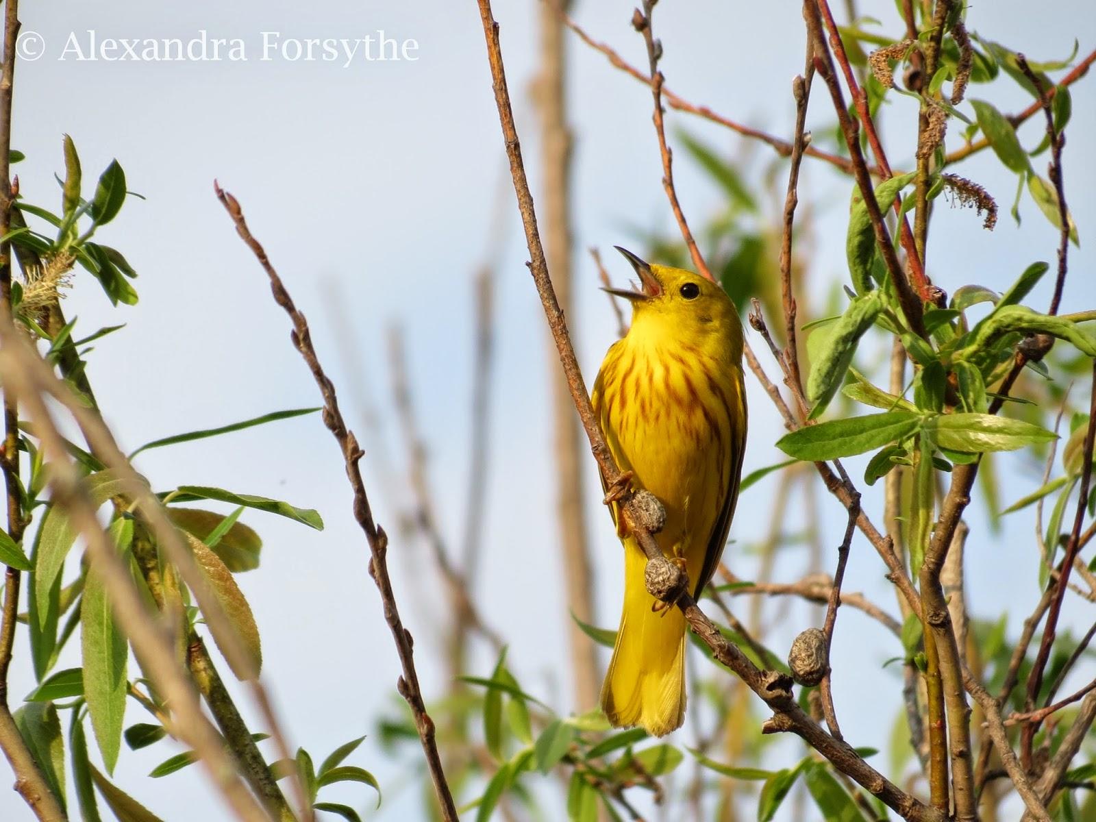 indiana young birders club