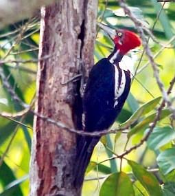 Pájaro carpintero de Iquitos Perú
