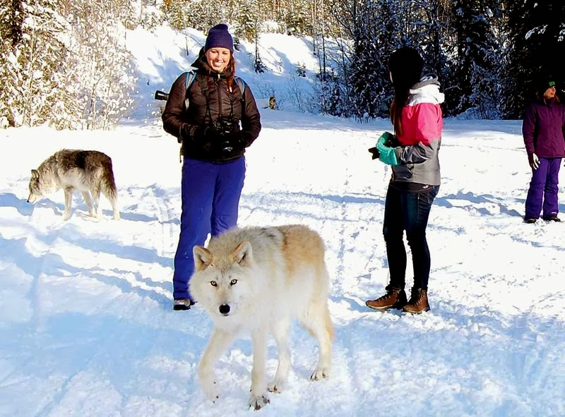 Walking with wolves: Getting close to nature in Golden, B.C. (Video)
