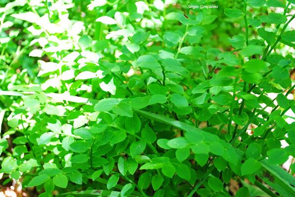 Vaccinium myrtillus a Uva do monte ou planta do mirtilio