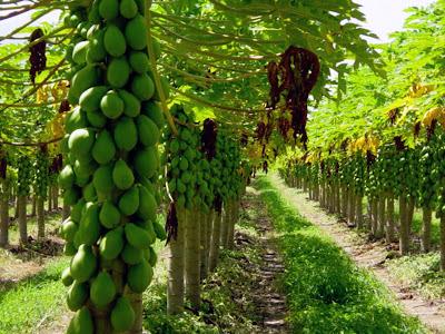 Cultivo comercial de mamão