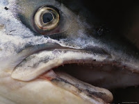 Close-up of the head of a dead fish