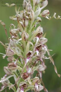 feu d'artifice fleur orchis