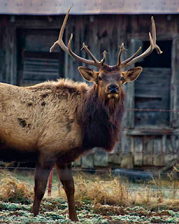 Big Bull Elk by Highway 43 3 Miles from Ponca