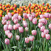 Temporada das flores - Por Iara Vilela