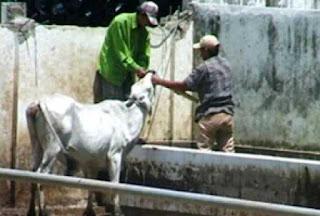 informasi adanya sapi gelonggong di peroleh dari rumah pemotongan hewan yang kerap menerima sapi