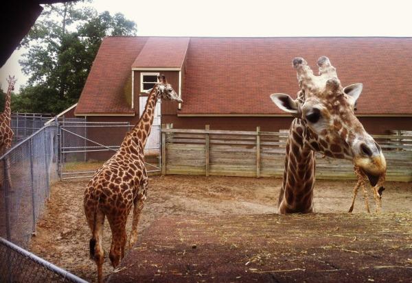 family of giraffes at zoo
